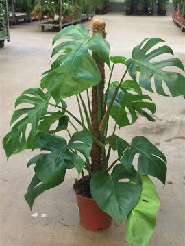 Monstera deliciosa am moosstaab philodendron 75 cm hoch im tb17 zimmerpflanze ebay - Zimmerpflanze monstera ...