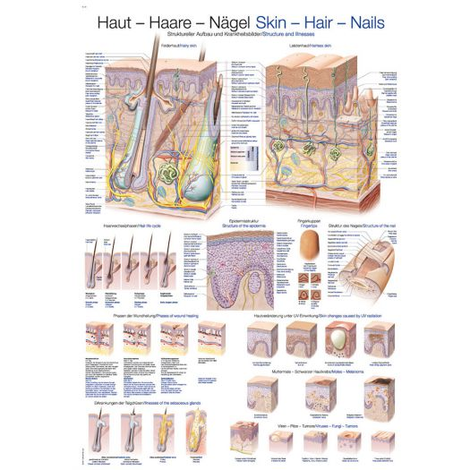 """Anatomische Lehrtafel """"Haut- Haare- Nägel""""Ausbildung Anatomie ..."""