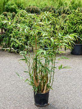 goldrohr bambus balkonpflanze gro sichtschutz lh 120 cm. Black Bedroom Furniture Sets. Home Design Ideas