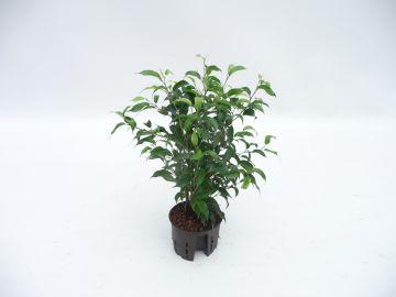 birkenfeige ficus benjamina natascha 40 cm. Black Bedroom Furniture Sets. Home Design Ideas