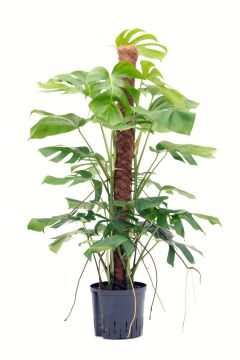 Monstera in hydrokultur fensterblatt hydropflanzen for Hydropflanzen versand